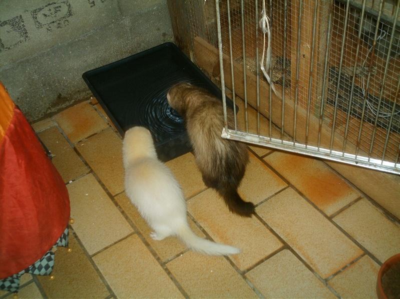 présentation de vos animaux: furets: - Page 7 Furets22