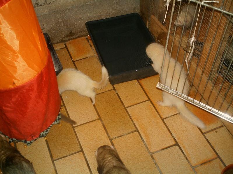 présentation de vos animaux: furets: - Page 8 Furets27