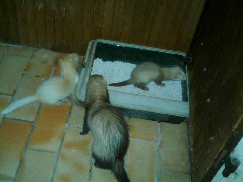 présentation de vos animaux: furets: - Page 8 Furets28