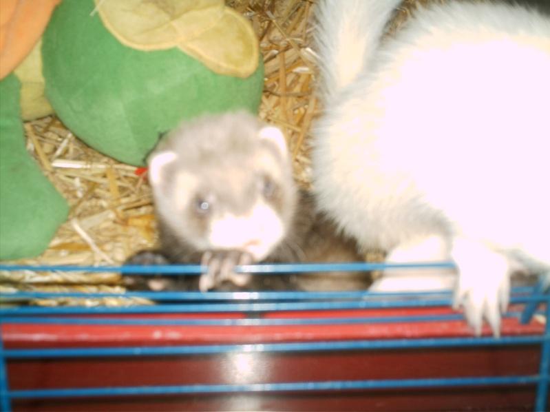 présentation de vos animaux: furets: - Page 3 Photos19
