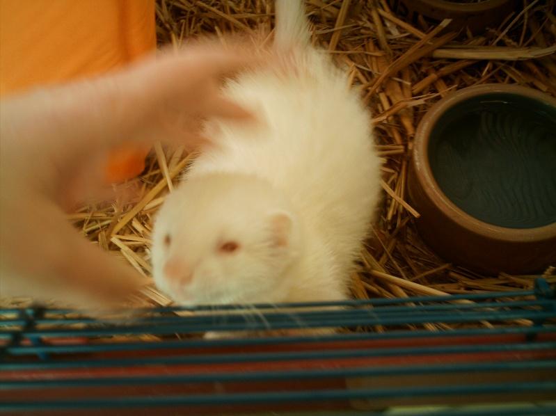 présentation de vos animaux: furets: - Page 4 Photos43