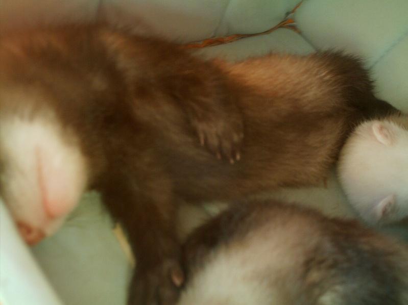 présentation de vos animaux: furets: - Page 4 Photos49