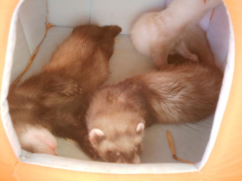 présentation de vos animaux: furets: - Page 4 Photos51