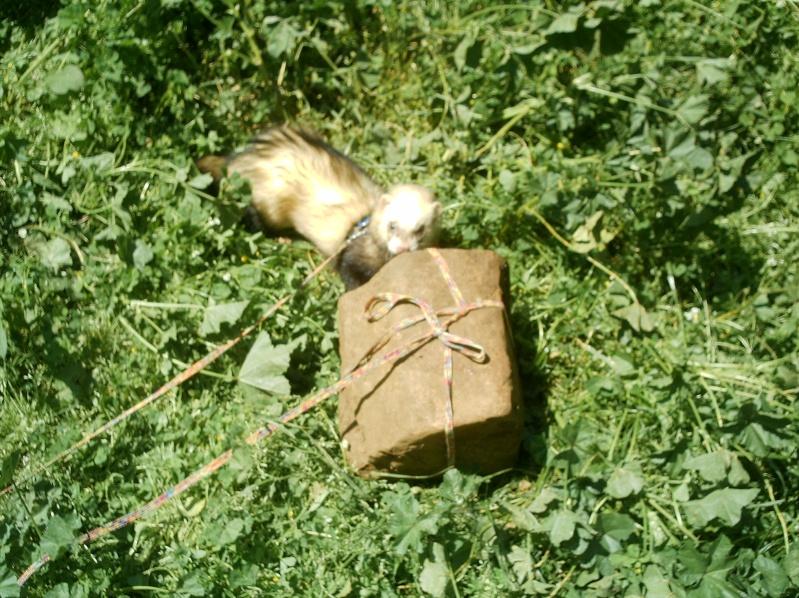 présentation de vos animaux: furets: - Page 4 Photos77