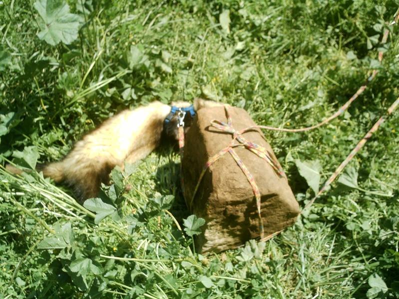 présentation de vos animaux: furets: - Page 4 Photos84