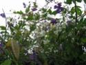 rosier kiftsgate Juin_012