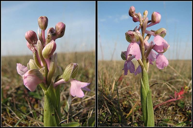 Anacamptis morio ( Orchis bouffon ) A-mori11