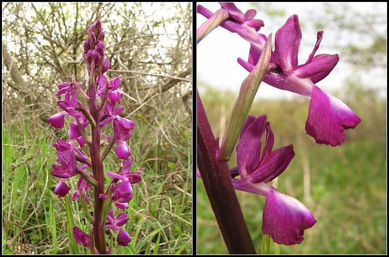 Anacamptis laxiflora ( Orchis à fleurs lâches ) Anacam13