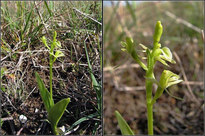 Liparis loeselii ( Liparis de Loesel ) Lipari10