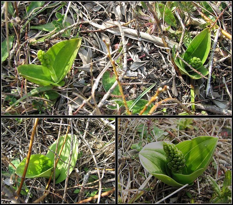 Neottia ovata (Listère à feuilles ovales) Lister11