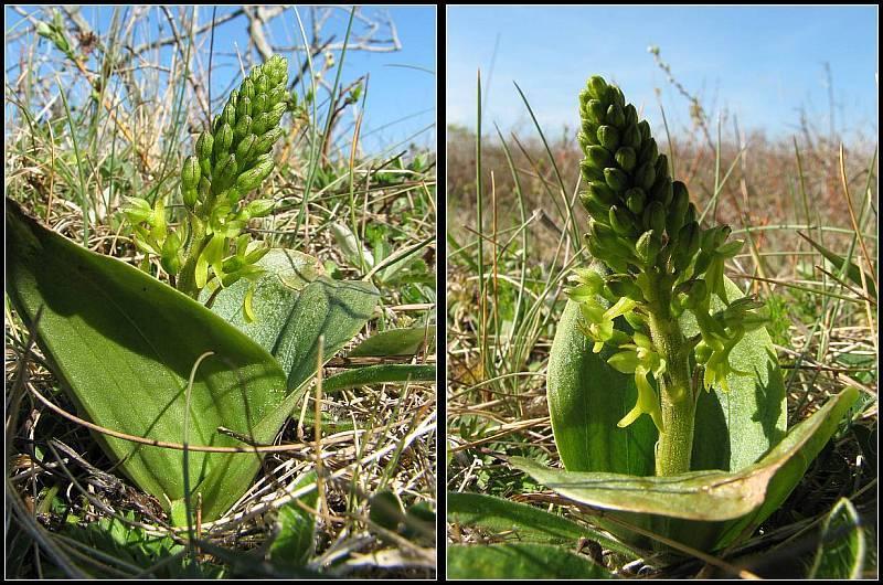 Neottia ovata (Listère à feuilles ovales) Lister13