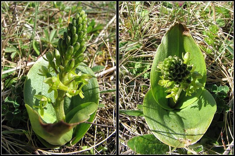 Neottia ovata (Listère à feuilles ovales) Lister14