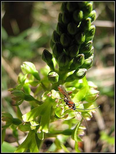 Neottia ovata (Listère à feuilles ovales) Lister16