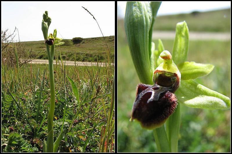 Ophrys aranifera ( = sphegodes , Ophrys araignée ) Op-ara10