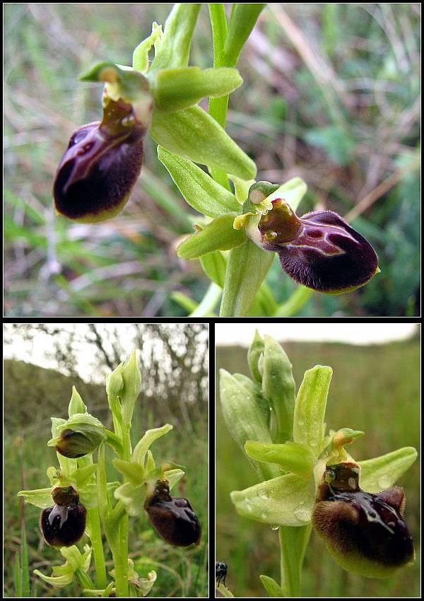 Cavité stigmatique d'un ophrys : largeur et hauteur Op-ara15