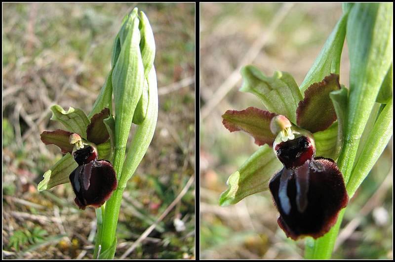 (IDENTIFICATION) Les Ophrys au nord de la Loire Op-pas11