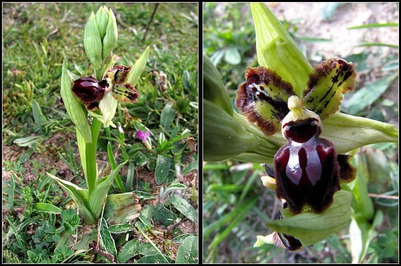 Cavité stigmatique d'un ophrys : largeur et hauteur Op-pas31
