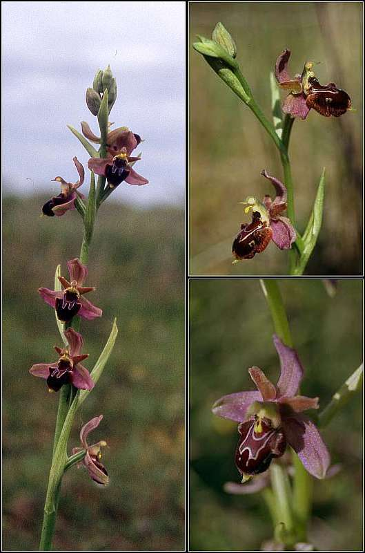 Ophrys apifera X passionnis Ophrys31