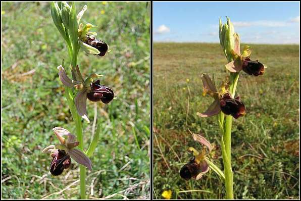 Ophrys apifera x passionis Ophrys32