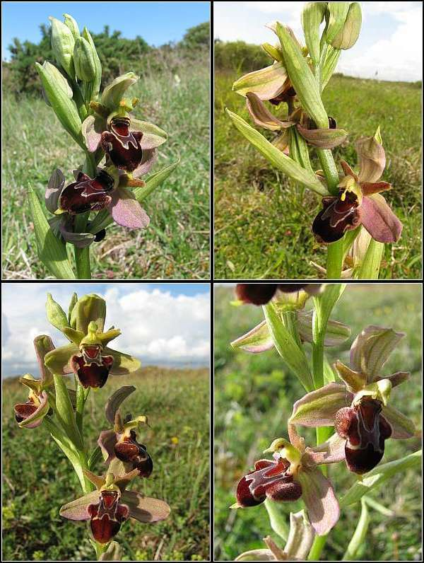 Ophrys apifera x passionis Ophrys33