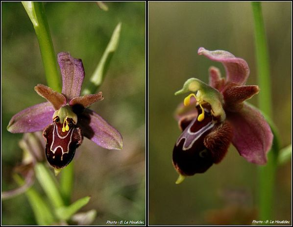 Ophrys apifera x passionis Ophrys34