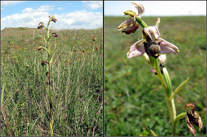 Ophrys apifera x passionis Ophrys35