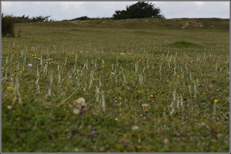Spiranthe d' automne (Spiranthes spiralis) S-spir10