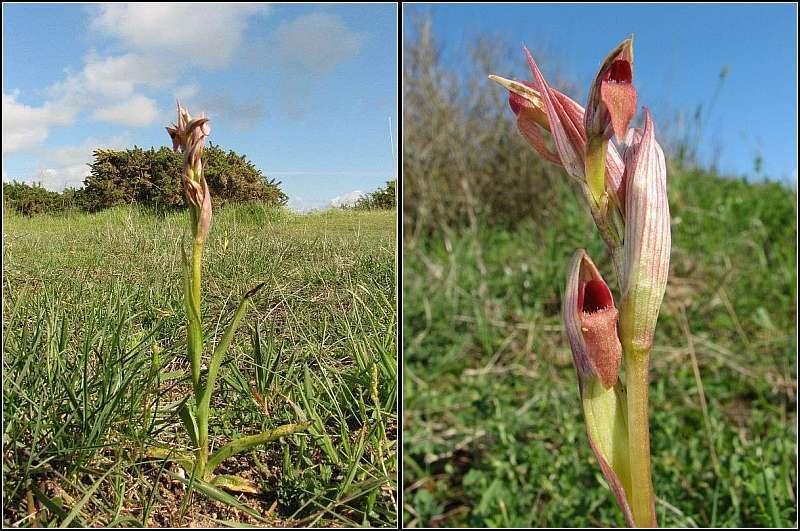 Serapias parviflora ( Sérapias à petites fleurs) S_parv17
