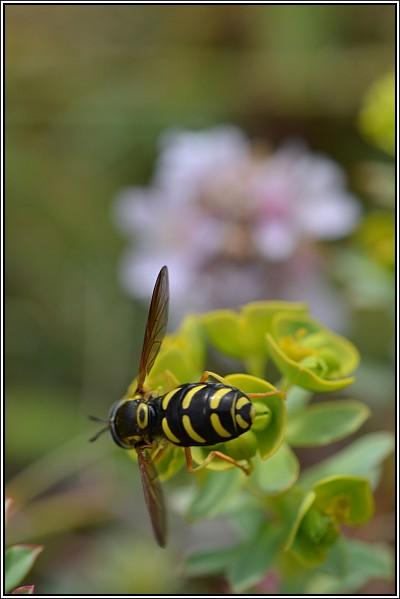 syrphidae Sirphe10