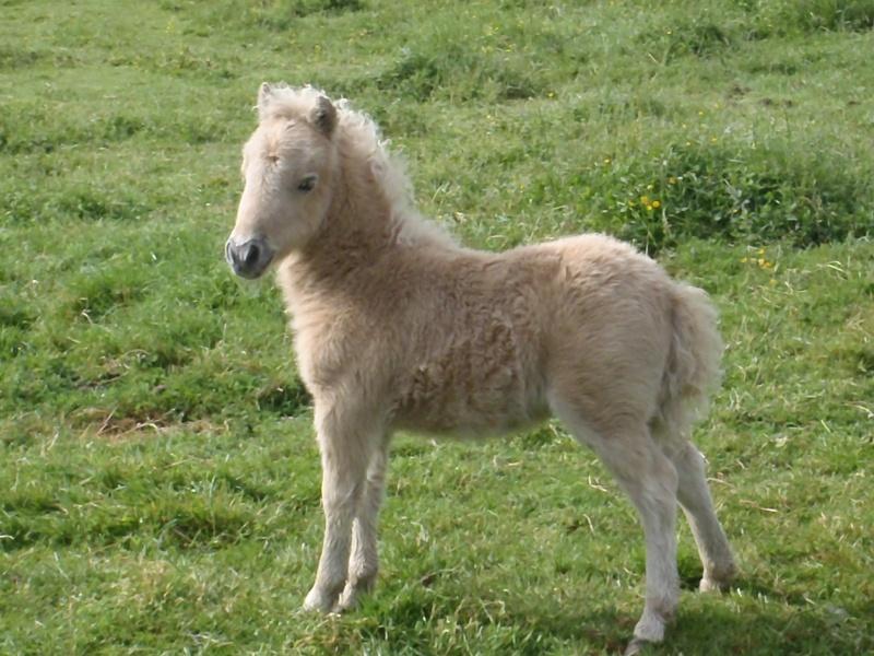 Shetland palomino 2012-032