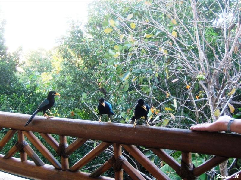 Oiseaux du Mexique !! Mexiq104