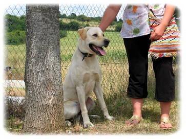 BUFFALO, labrador, 2 ans (77). Bdaf0010