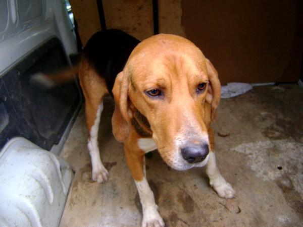 COOPER, croisé beagle/anglo mâle, 2 ans (79) Chien-18