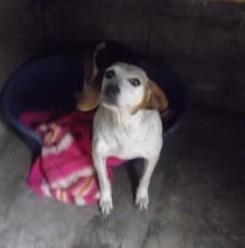 ABBY  croisée  beagle  8 ans  ???  en fourriere  (79 ) Croisa16