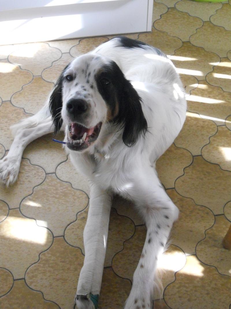 BEAU Setter Anglais né le 01.06.2009  adopté par BIGGLES (66) Dscn0510