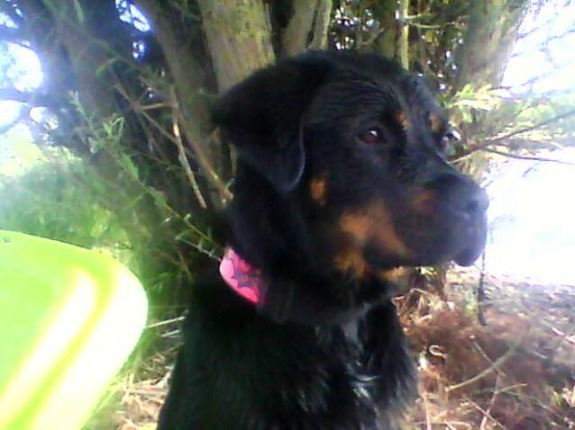 NESTY  rottweiller femelle  deux ans  (49) Nesty_13
