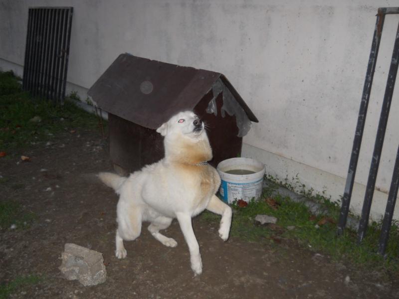MAX husky de 8 mois maltraité . VIT A LATTACHE. ASSO: 49 ADOPTE Photo_82