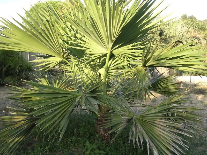 Mes palmiers Dscn7211