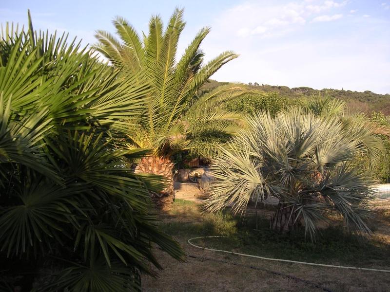 Mes palmiers Dscn7218
