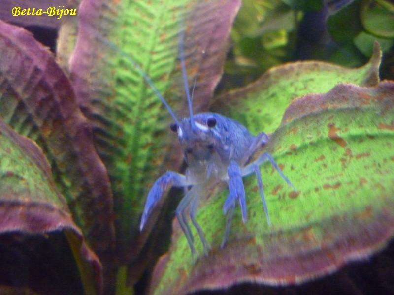 Écrevisse bleue de Floride, procambarus alleni Alleni14