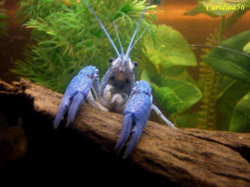 Écrevisse bleue de Floride, procambarus alleni Alleni15
