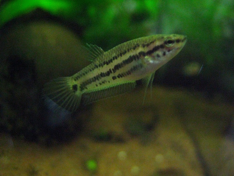 Bettas falx Falx0310