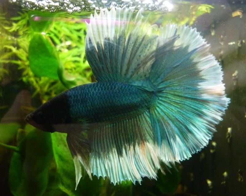 un des mes mâles Saphir11