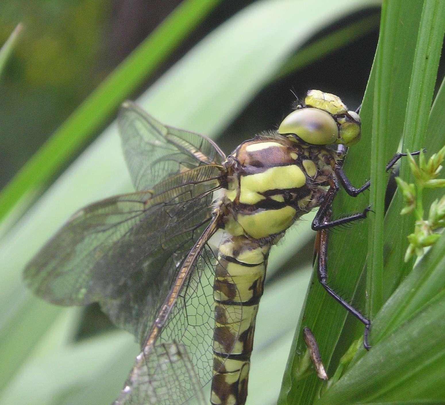 Larves de libellule Aschne10