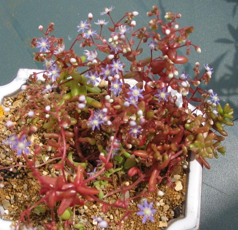 [Sedum caeruleum] Sedum avec fleurs bleues Sedum_10