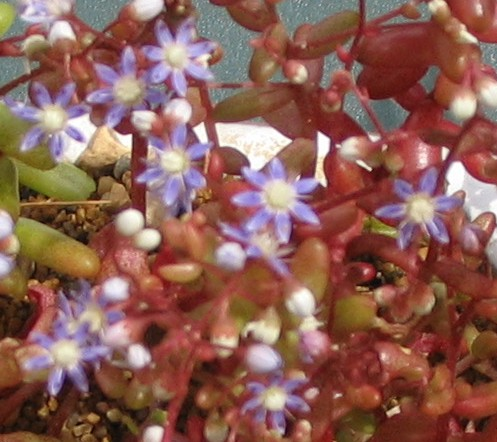 [Sedum caeruleum] Sedum avec fleurs bleues Sedum_12