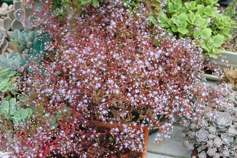[Sedum caeruleum] Sedum avec fleurs bleues Sedum_14
