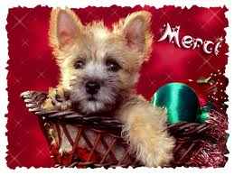 ROXANE (Terrier Jack Russel) Merci_10