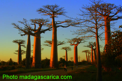 Madagascarica  Forum