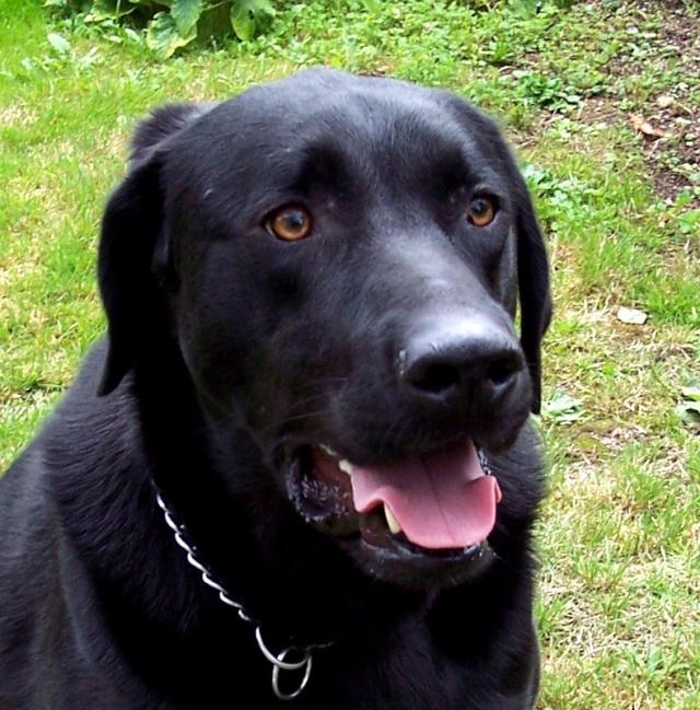 chien type labrador..placé ! 00115